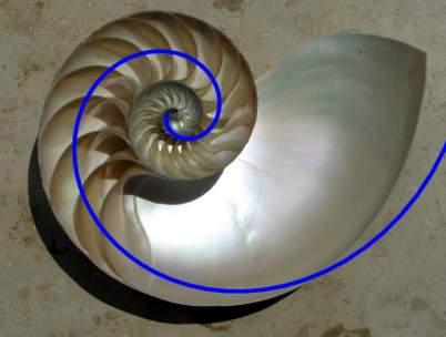 Spirala Fibonacciego - skorupa ślimaka Nautilus
