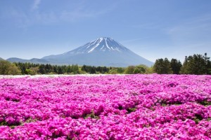 Japan Shibazakura Festival With The Field Of Pink Moss Of Sakura